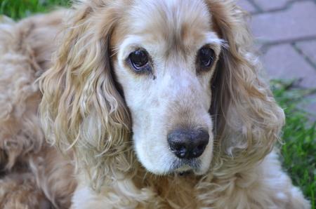 brown spaniel dog