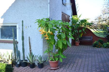 Datura flowers on a pot