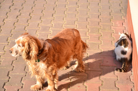 Brown spaniel and a cat 写真素材