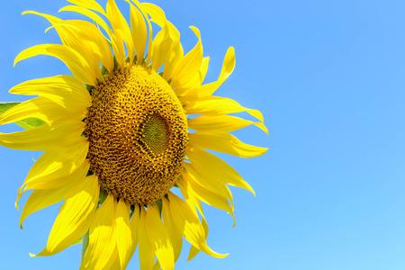 Sunflower Sunflower  on blue sky backgroundat  Lop Buri Thailand photo