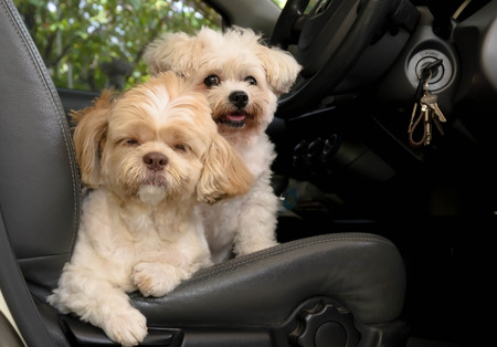 Dog sitting on the seat in a car, ready to go. Stock Photo