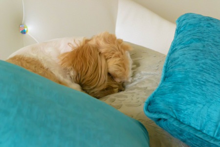 Shih Tzu dog choose a space for sleep  on a big pillow. it very happy photo