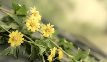 ground cover: ground cover species with small yellow flowers