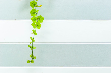 green ivy plant are climbing on cement wall photo