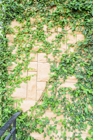 old brick wall and ivy texture photo