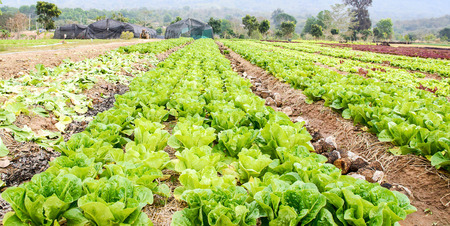 vegetable garden (salad and vegetable cultivation)