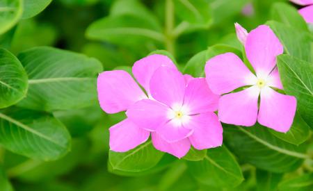 berros: flores rosadas de berro
