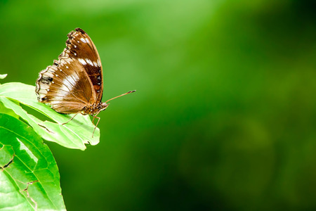 brown butterfly on a leave with green background photo