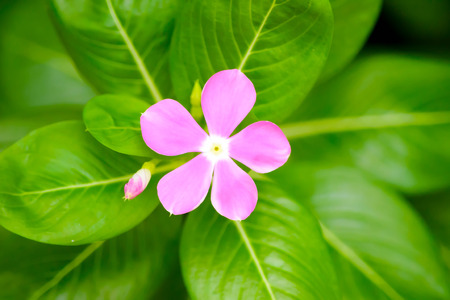 berros: flor rosada del berro