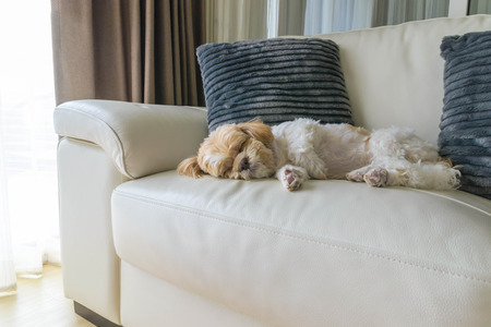 young dog sleeping on modern sofa in the living room Stock Photo