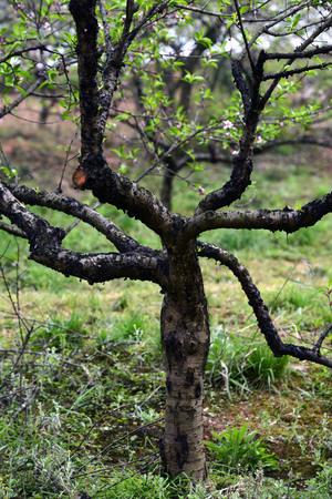 peach tree: Peach tree