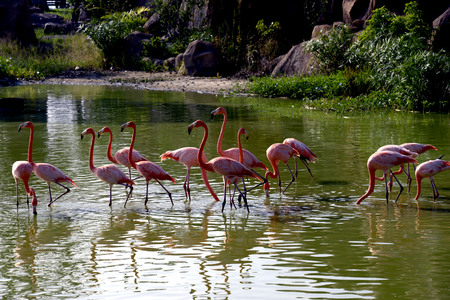 Beautiful Flamingos in the lake