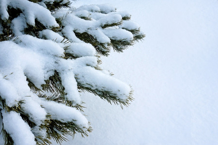 Green branch of pine. It is covered with snow. From under the snow, green needles peep out. Background white bluish snow. The snow is fluffy and textured.