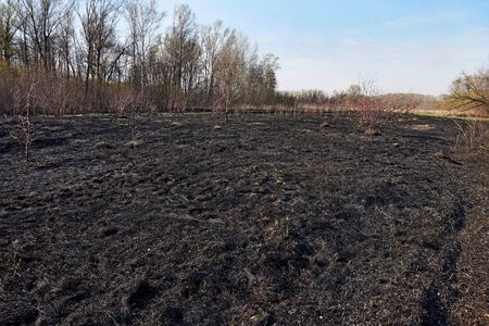 Burned grass after a forest fire. Black background. Stock Photo