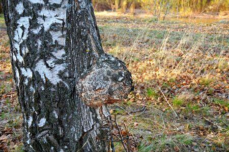 Nature. Knar. Suvel, birch cap Disease of the plant 스톡 콘텐츠