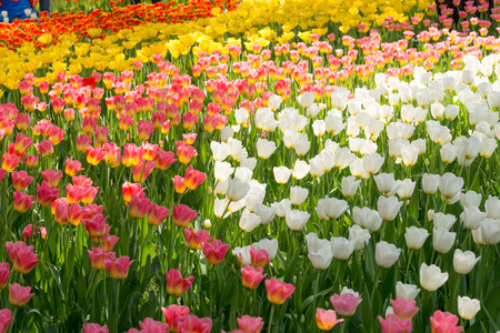 holland: Colorful tulip flowers Stock Photo