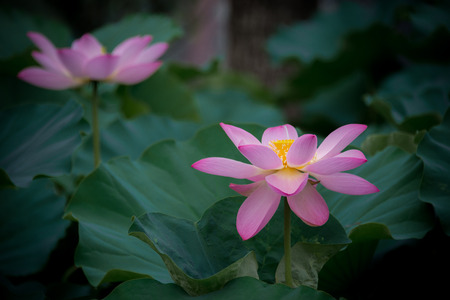 Two blooming lotus flowers in the pond