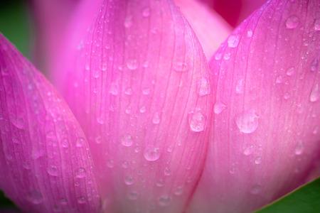 Pink lotus petals full of dew 스톡 콘텐츠