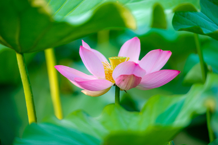 The lotus flower in the pond