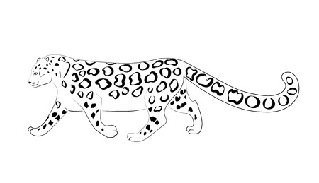 Irbis (snow leopard) coming, black and white vector sketch image. Illustration