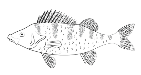Perch. Black and white vector drawing outline illustration.  Çizim