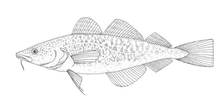 Atlantic cod. Realistic hand drawing black and white illustration. Stockfoto