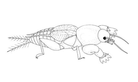 European mole cricket. Black hand drawing outline vector image.