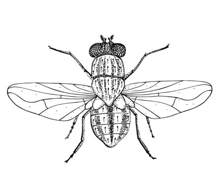 Housefly, Musca domestica. Black and white hand drawing vector image. View from the top