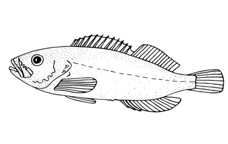 Korean rockfish. Northern Asia fish. Black and white hand drawn vector illustration. 向量圖像