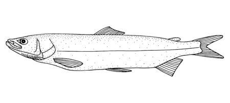 Sheefish. Hand drawn realistic black line illustration.
