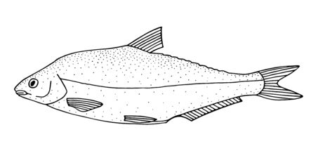 Vimba bream (Vimba vimba). Asian freshwater river fish. Black and white hand drawing realistic vector image.