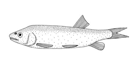 Common chub (Squalius cephalus). Freshwater Eurasian fish. Black and white hand drawing realistic vector image. Vectores