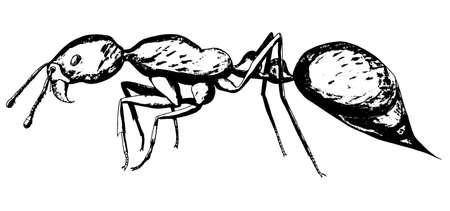 Fire ant. Hand drawing realistic vector illustration.
