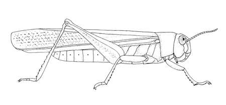 Locust. Hand drawn black realistic outline vector illustration.