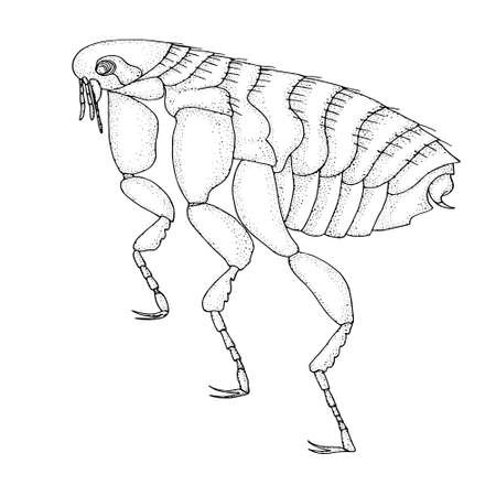 Human flea. Realistic hand drawing black and white vector illustration.