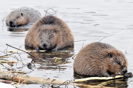 castoro: Castori stanno masticando sui rami sul fiume