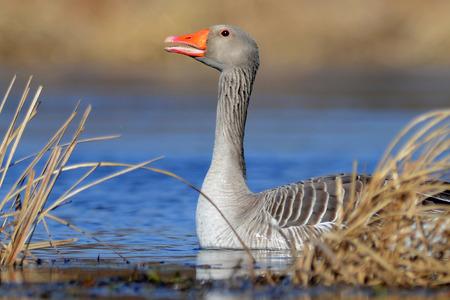 white fronted goose: The Greater White-fronted Goose