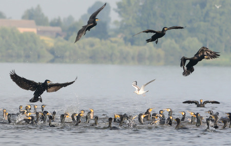 devouring: The flock of cormorants is preying on a shoal of fish