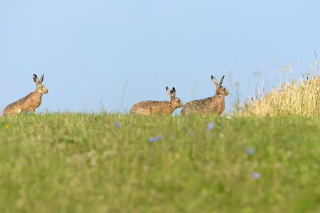 pascha: Hares on the meadow