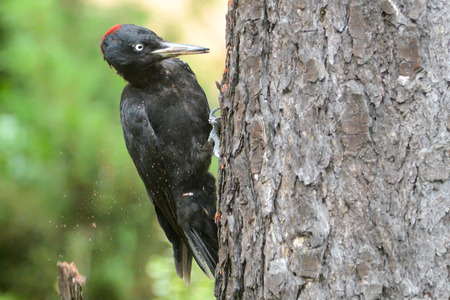 finding the cure: Black woodpecker Stock Photo