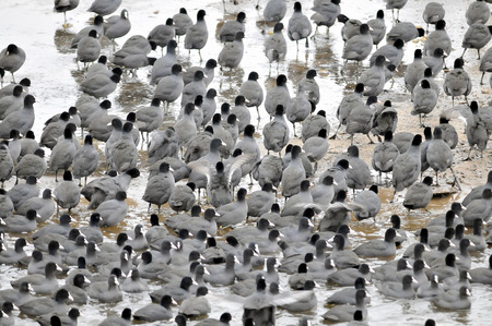 Coots are medium-sized water birds  They are collecting into herds because together it is easier for them to find the food and warm oneself up  photo