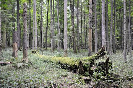 Poland  Bialowieza national park  photo