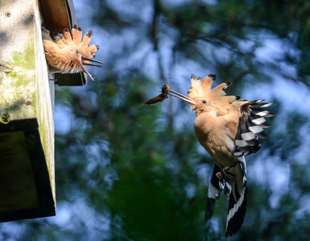 The Hoopoe  The parent is feeding young with insect