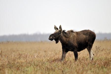 bogs: Biebrza national park  N z moose