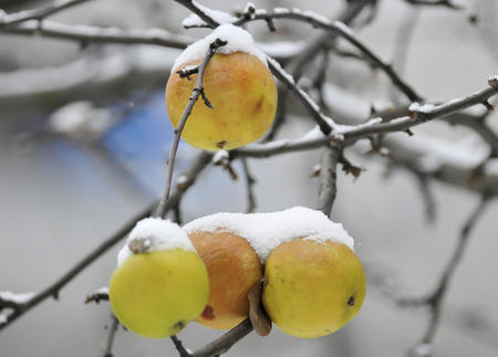 frost winter: Frost  Winter  Chilled apples