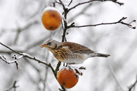 The Fieldfare on apples  Frost  Winter  Chilled fruits  photo