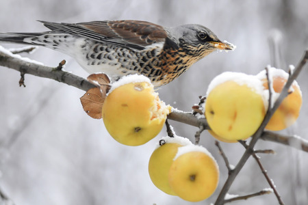 frost winter: The Fieldfare on apples  Frost  Winter  Chilled fruits