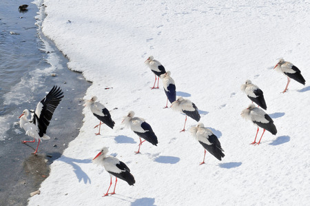 flew: White storks too early flew in  During sharp still winters a dozen or so pieces flew in to the pond