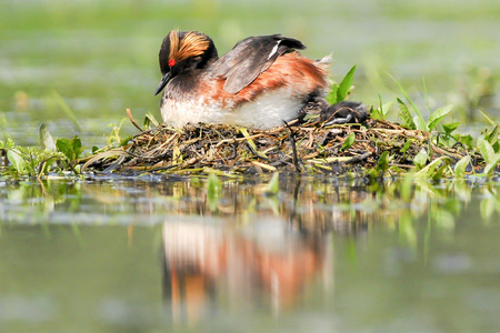 necked: The Black - necked Grebe known in North America as the Eared Grebe