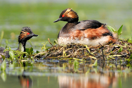 bogs: The Black - necked Grebe known in North America as the Eared Grebe